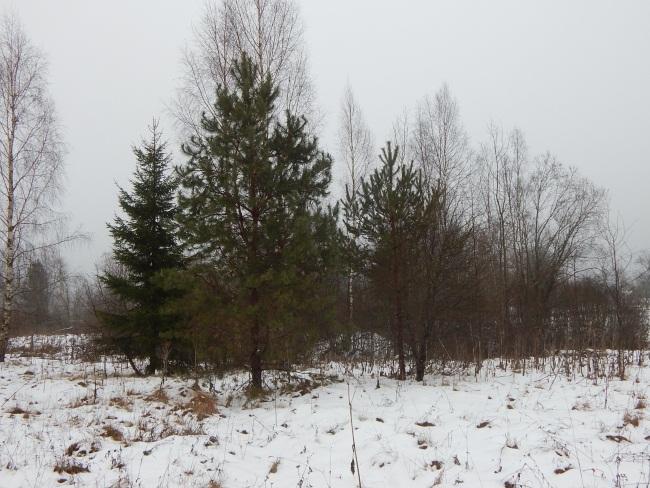 Лес возле деревни Шеляги.