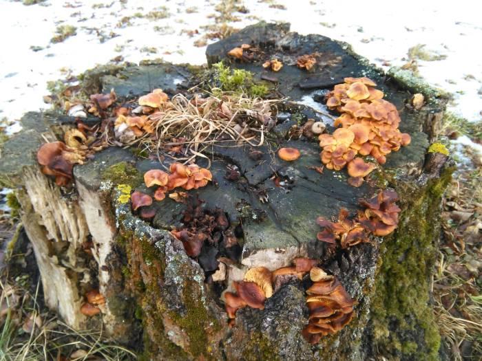 Зимний гриб в феврале