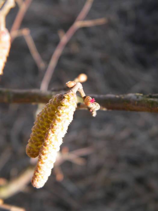 Женский цветок лещины в окружении мужских сережек