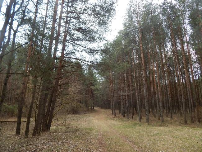 В этом живописном лесу были расстреляны витебские подпольщики.