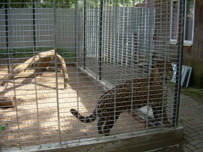 Ягуар - гордость зоопарка!