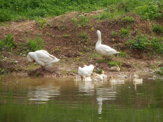Пруд с птицами - привычный пейзаж на Баумана.