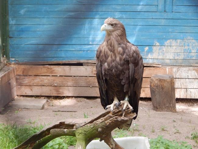 Самый крупный летающий хищник в Беларуси.
