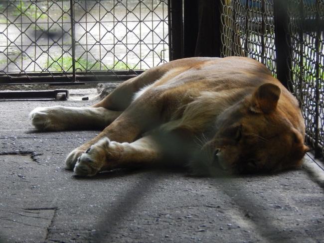 Львица к посетителям относится равнодушно.