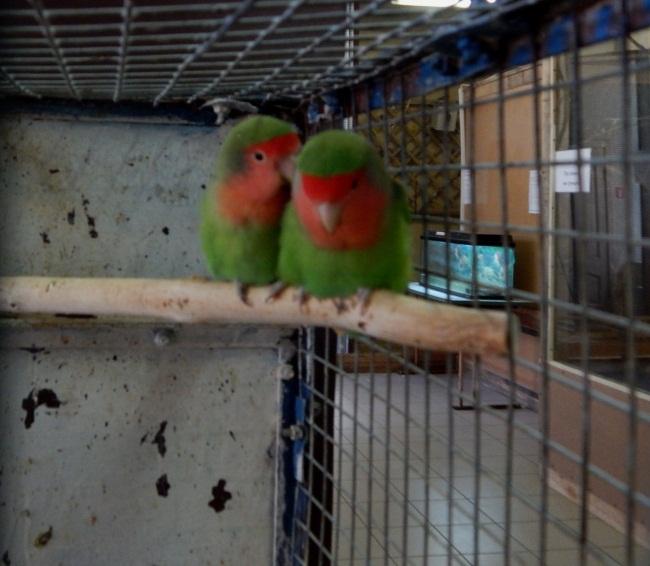 Попугаи-неразлучники - пример для семейных пар!