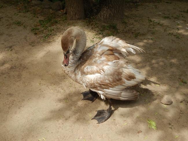 Лебедь при раздражении громко шипит.