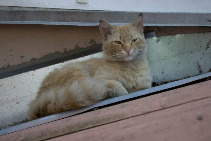 Витебский кот - красавец и авантюрист