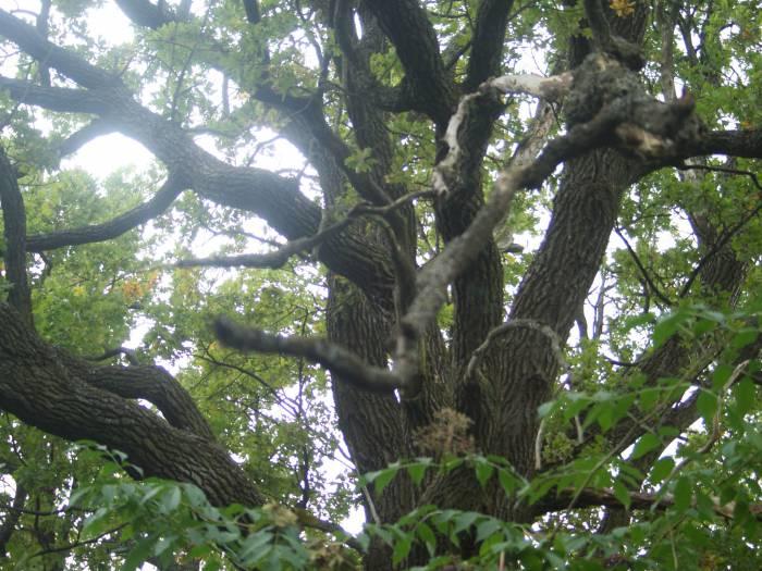 Этот дуб родился ещё до Адамова