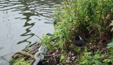 А вот, например, утка, которая прекрасно себя чувствует в центре Амстердама. Она не просто живет в канале, а построила себе гнездо. Для нас подобная идиллия пока что не достижима