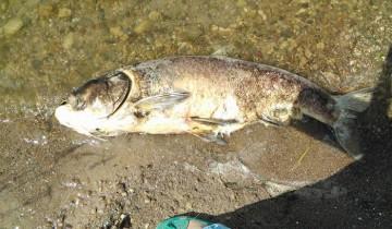 В сравнении можно увидеть насколько огромна погибшая рыба