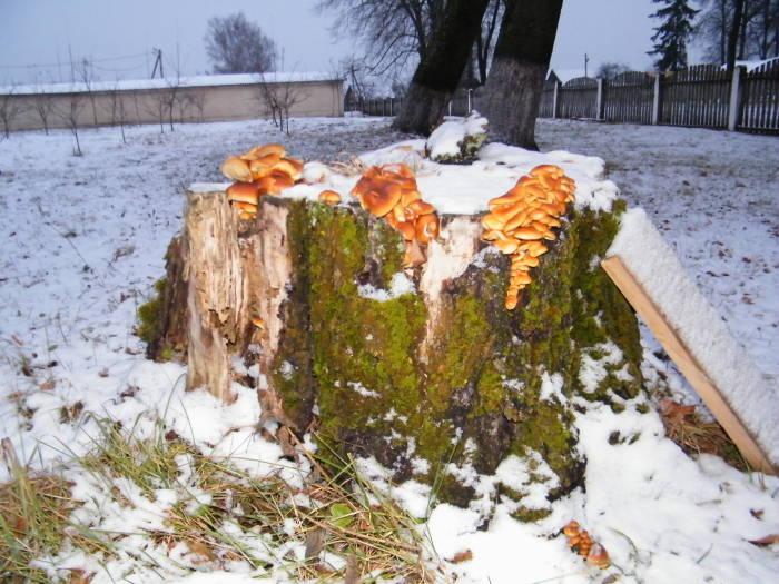 Зимний гриб в отепель