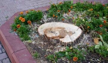 Пень вместо дерева возле бухгалтерской школы. Снято 27 августа 2014