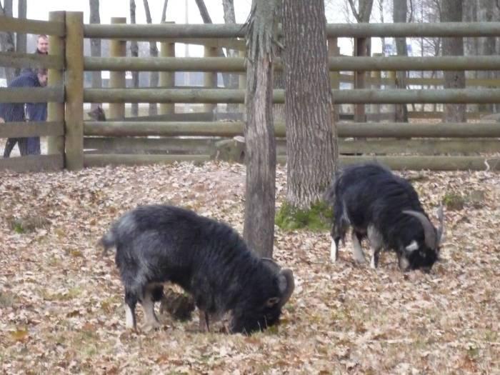 За кусочек яблока эти животные вплотную к забору.