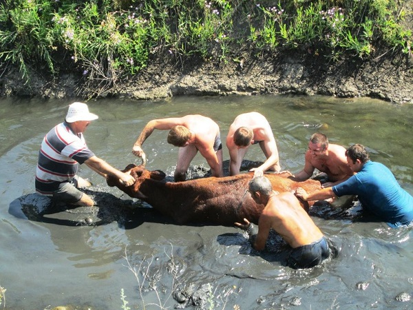 Корову спасли из ямы. Источник: iz.com.ua