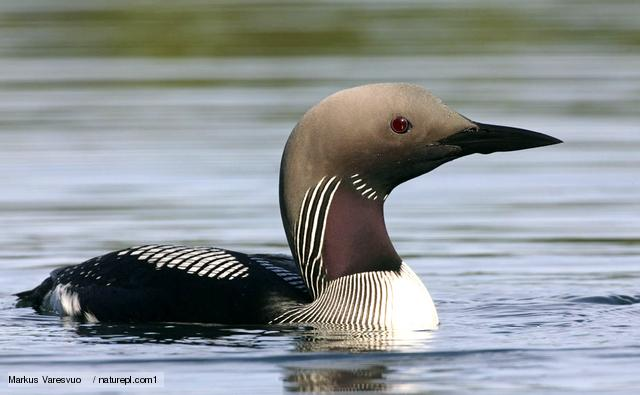 Black-throated diver (Gavia arctica) portrait, Finland, June