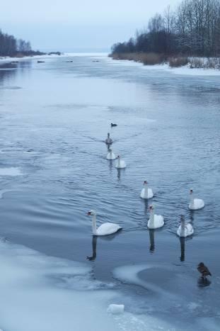 Лебедей возле озера можно встретить каждую зиму. Птицы давно стали местной достопримечательностью, их здесь любят и регулярно кольцуют. Фото Анастасии Вереск