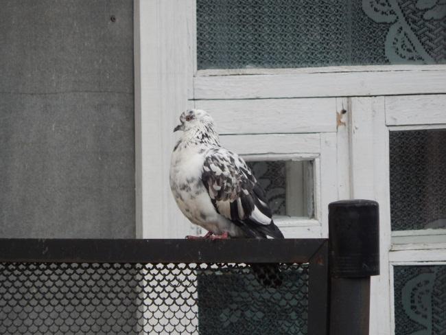 голубь, витебск