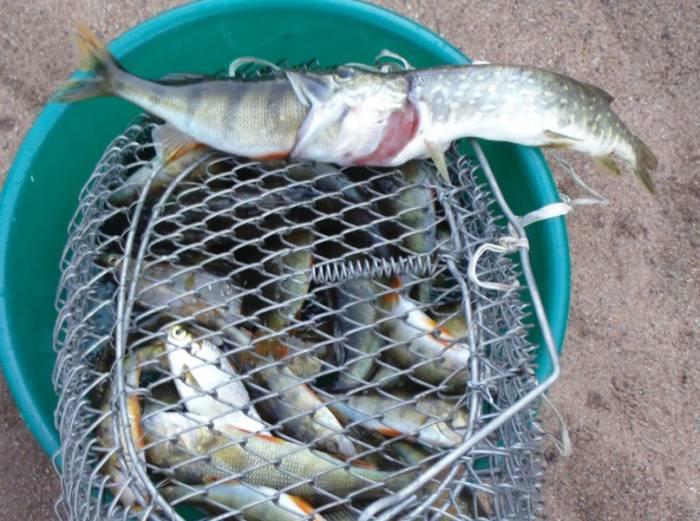 Западная Двина, рыбалка