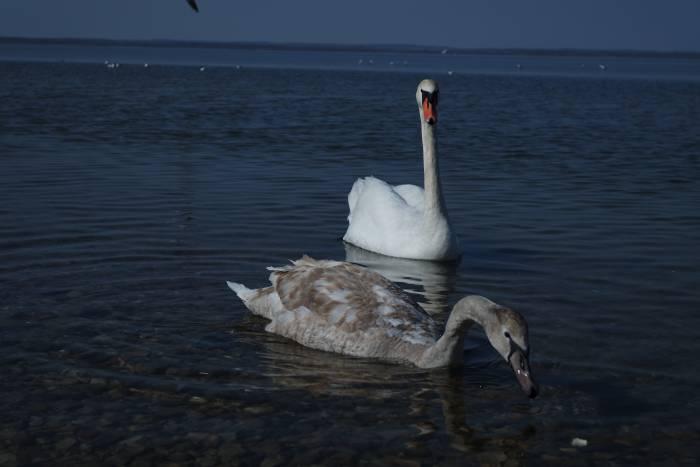 Лебедь-шипун на Лукомльском озере. Фото Анастасии Вереск