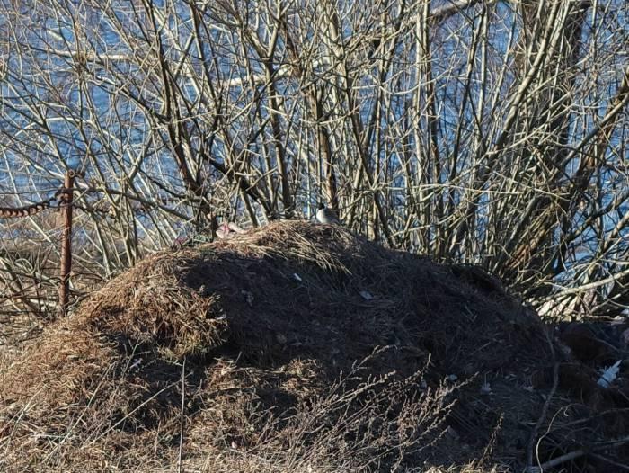 Тростниковая овсянка. Фото Анастасии Вереск