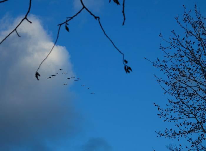 Клин белолобых гусей. Фото Анастасии Вереск