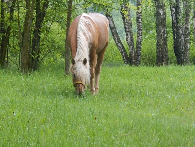 конь мускат, мазурино, клуб калипсо