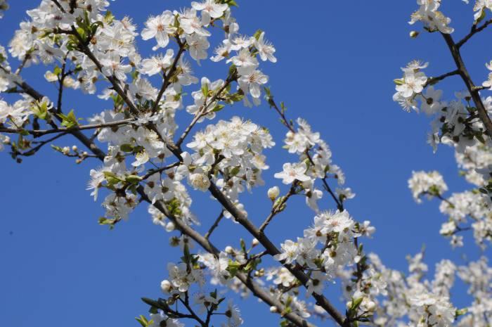 Цветущее дерево. Фото Анастасии Вереск