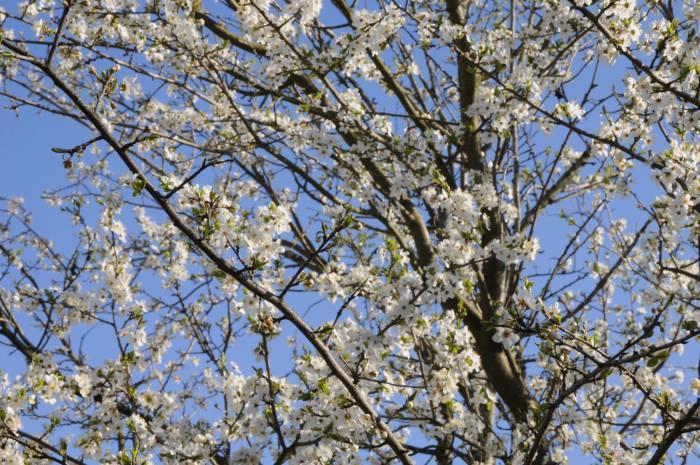 Цветы напоминают легкое кружево. Фото Анастасии Вереск