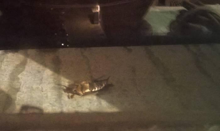 Чуть стемнеет - майский жук уже на подоконнике. Фото Анастасии Вереск