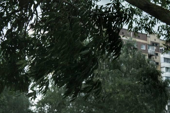 Фотофакт,дождь, дерево,витебск