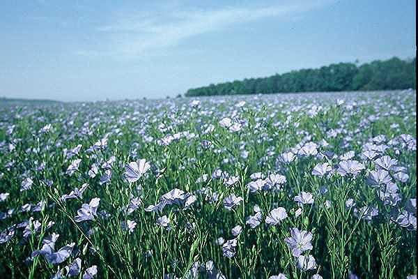 Наши предки знали, что делать, чтобы лен уродился. Фото colxoz.com