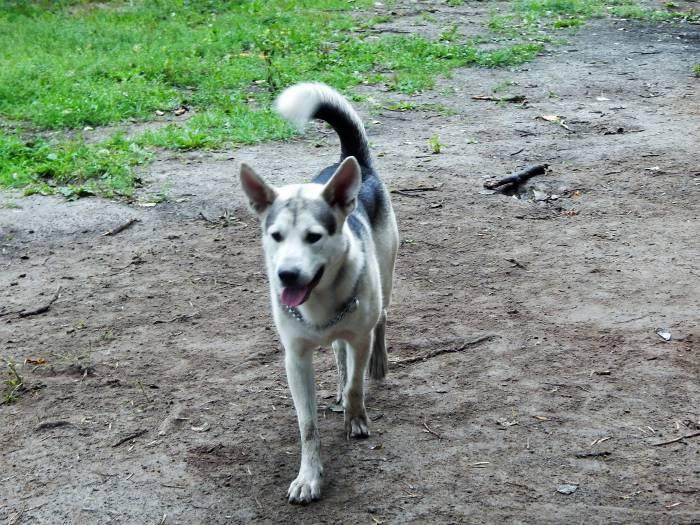 маламут, собака