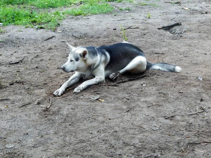 собака, маламут