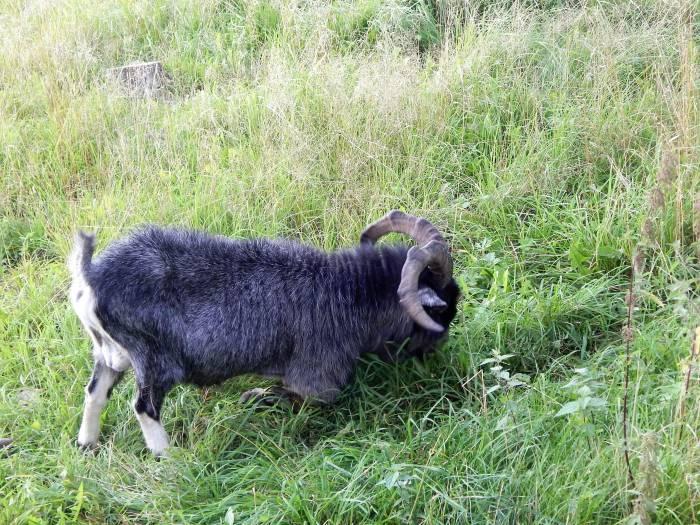 козел, зоопарк в Билево