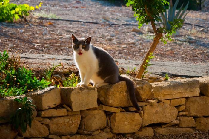 Типичный представитель кошачьей братии Кипра. Фото Анастасии Вереск
