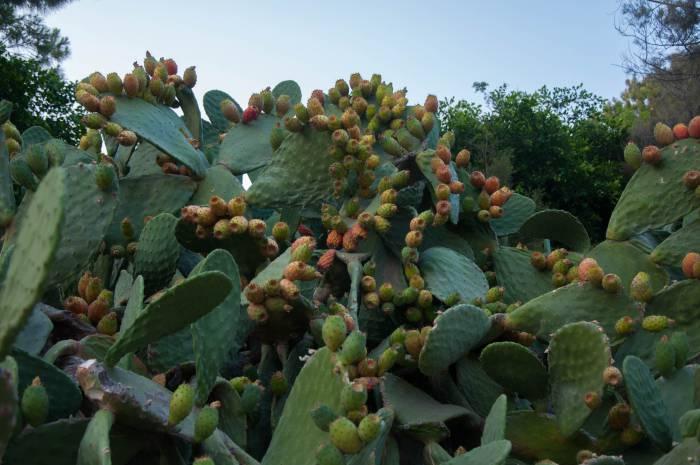 Опунция, съедобный кактус. Фото Анастасии Вереск