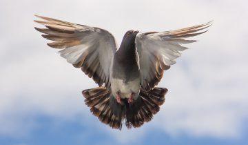 pigeon-747462_640