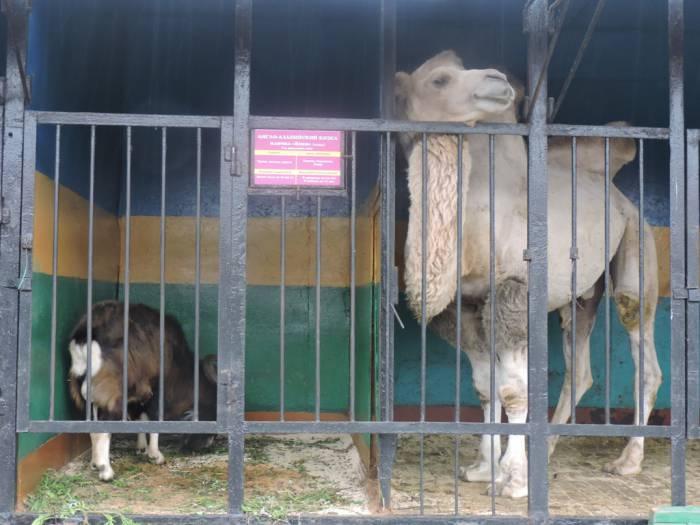 передвижной зоопарк в витебске , верблюд