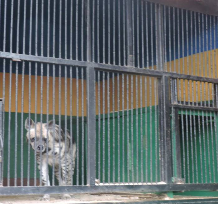 передвижной зоопарк в витебске , гиена