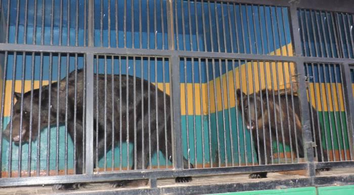 передвижной зоопарк в витебске , гималайские медведи