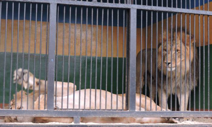 передвижной зоопарк в витебске, львы