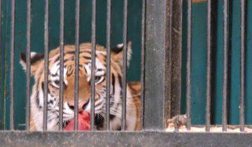 передвижной зоопарк в витебске , тигр, кормление зверей