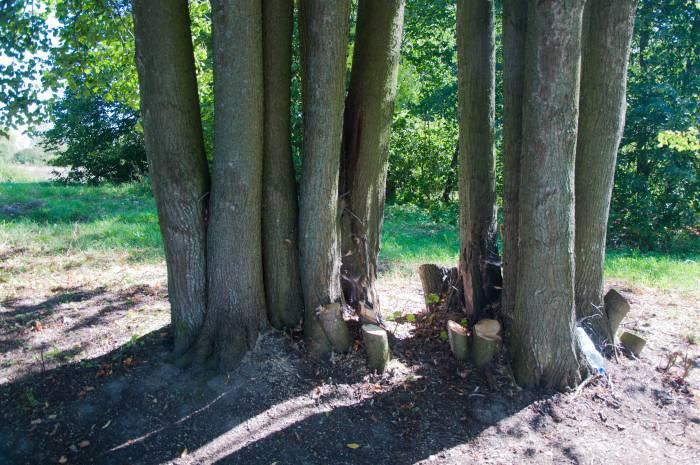 Некоторые липы в аллее уже сплелись корнями. Фото Анастасии Вереск