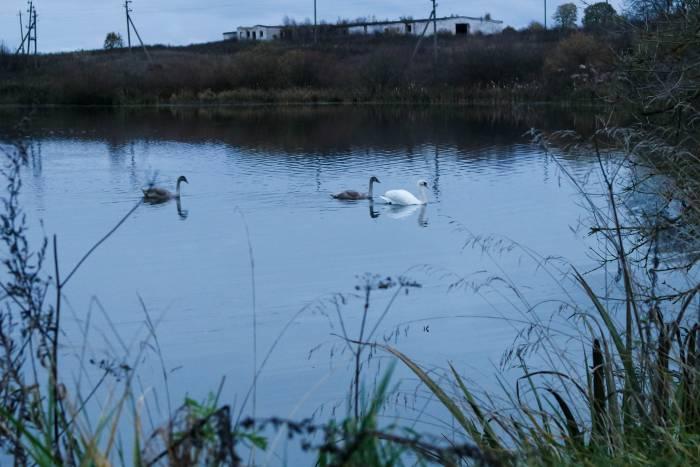 Лебеди в межевском водоеме. Фото Анастасии Вереск