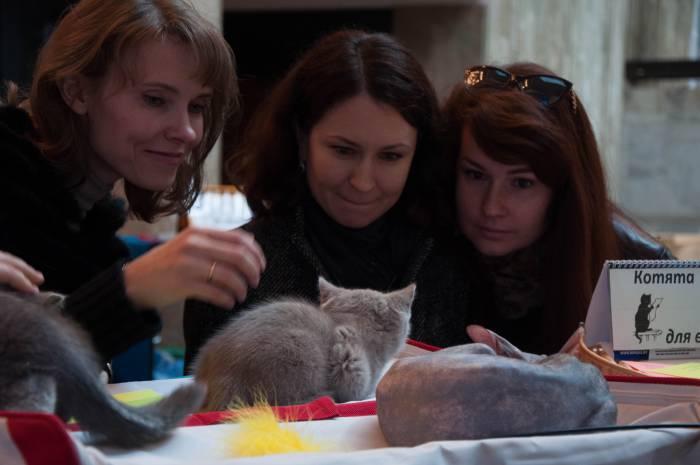 Очаровательные британские котята. Фото Анастасии Вереск