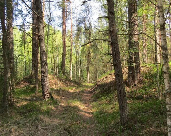 Лес возле деревни Дорохи, где, как утверждают местные жители, можно отыскать каменные фаллосы. Фото из архива Николая Пивовара