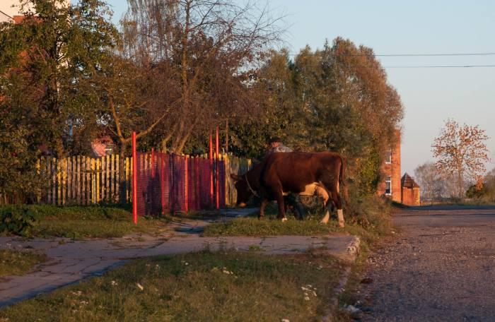 Корова в деревне сейчас скорее редкость, чем правило, а вот колхозы по-прежнему живут. Фото Анастасии Вереск