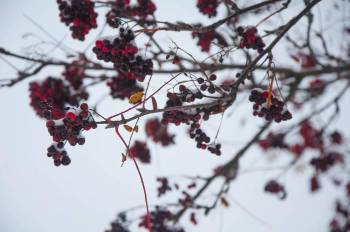 Рябины в такую погоду красивы, как драгоценные камни. Фото Анастасии Вереск