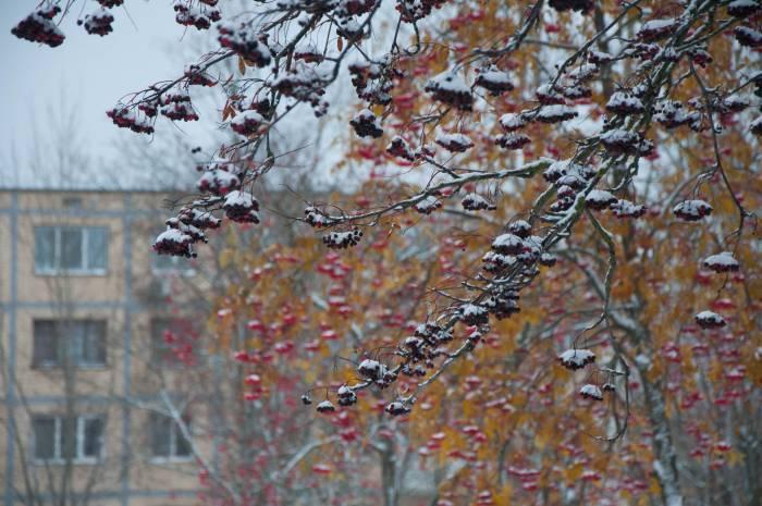 Не все рябины сохранились до первого снега. Фото Анастасии Вереск