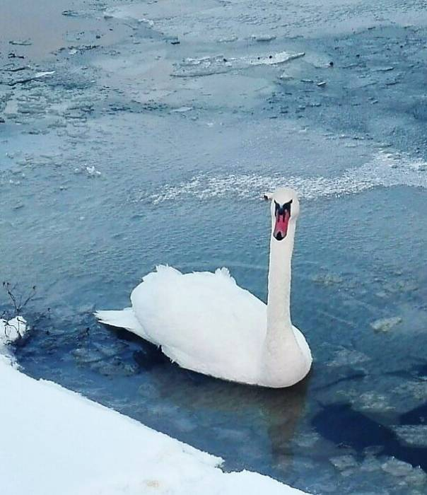 В Витебске зимуют лебеди